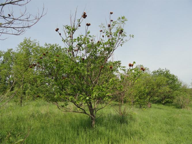 hybrid-chestnut-4_1024x1024