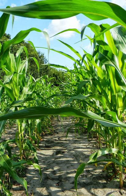 Corn-TexCuban